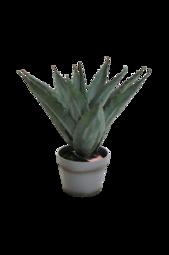 Aloe Vera Plante H 45 Cm